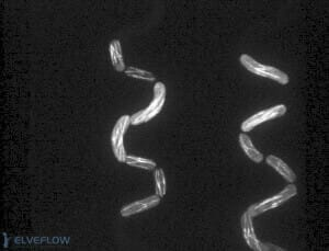 pombe-cell-serpentine-microfluidic-channel-flow-control