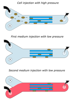 Microfluidic cell culture: Medium change - Elveflow