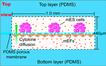 Cell coculture with PDMS membrane