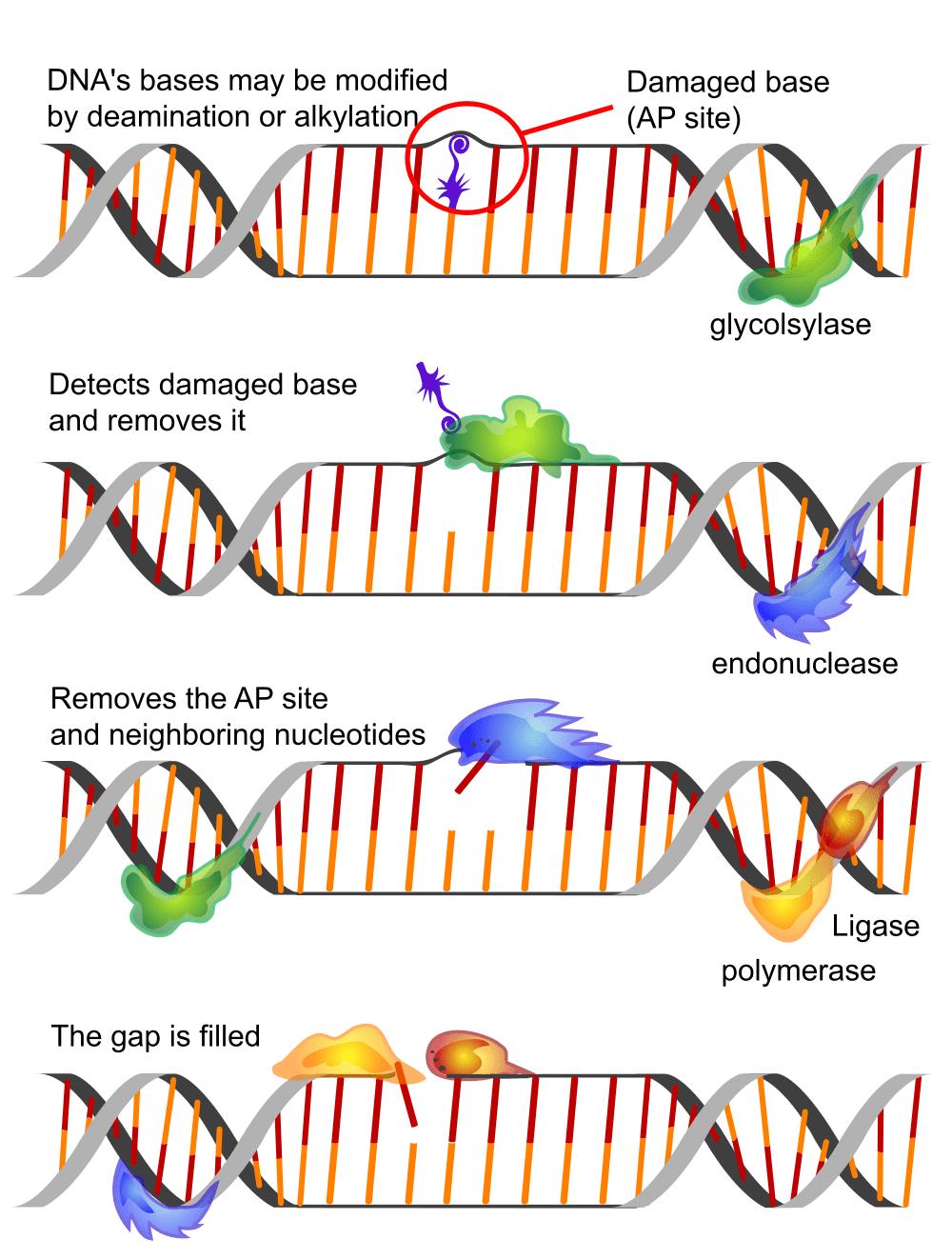 Microfluidic-Molecular machines for DNA repair-The DNAREPAIRMAN Project-2