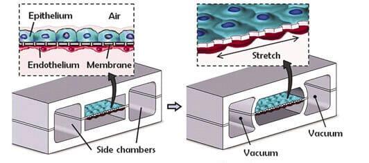 microfluidique +  organs sur puce
