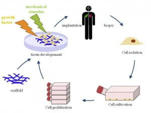 3D cell culture methods and applications - a short review-3D CELL CULTURE APPLICATIONS-3D cell culture for tissue engineering