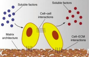 3D cell culture methods and applications - a short review-CELLS PROPERTIES IN A 3D CELL CULTURE-3D cell culture Cells interactions involved