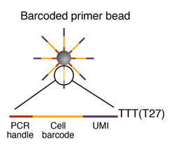 Barcoded-primer-bead-drop-seq-microfluidics-single-cells-analysis-ARN-AND-barcode-complex-tissue