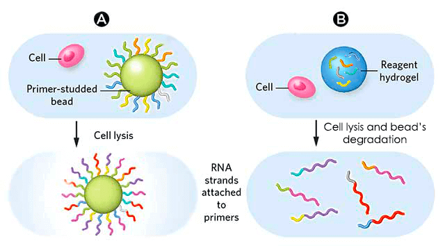 Different-types-beads-hydrogel-microparticle-drop-seq-microfluidics-sinngle-cells-analysis-ARN-AND-barcode-complex-tissue