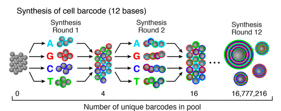 Primers-slip-and-pool-synthesis-drop-seq-microfluidics-single-cells-analysis-ARN-AND-barcode-complex-tissue