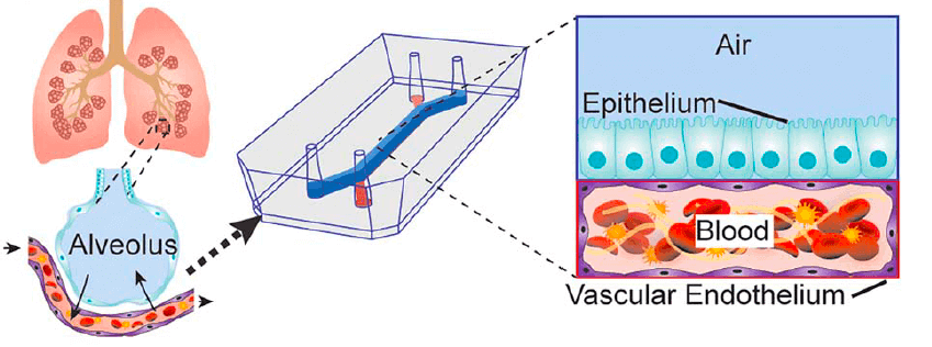 Lung-on-chip Schematic representation of the Alvelolus-on-a-chip model by Jain and al