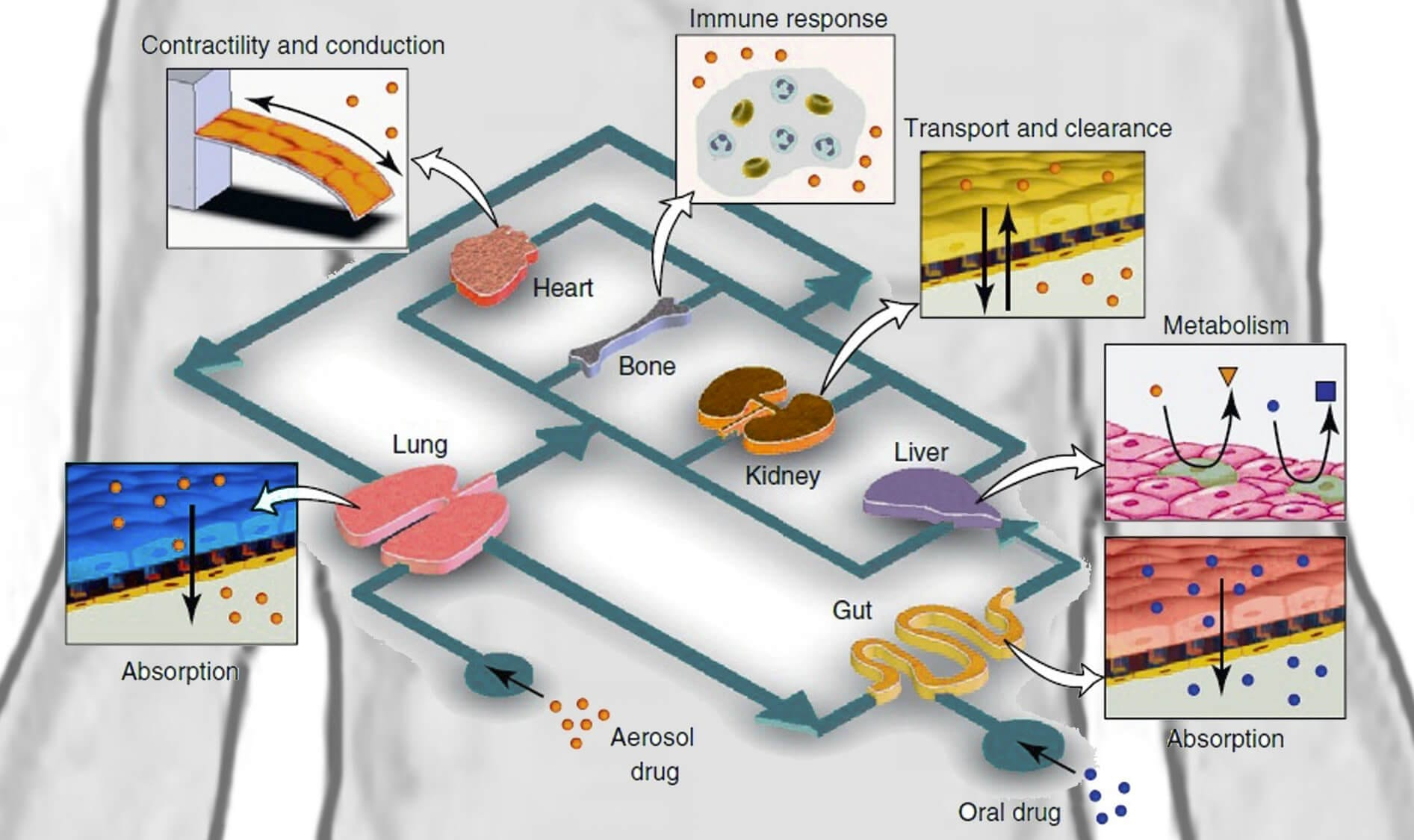 Lung-on-chip_Conceptual schema of a human-on-chip integrating different organs-on-chip