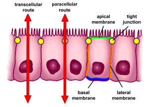 Figure 6: form of the human intestinal epithelium