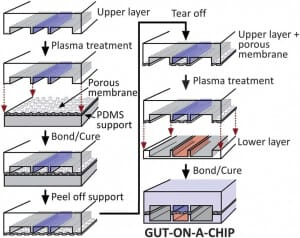 Figure 3: Taken from Hyun Jung Kim, Dongeun Huh, Geraldine Hamilton and Donald E. Ingber, human gut-on-a-chip inhabited by microbial flora that experiences intestinal peristalsis-like motions and flow, 2012