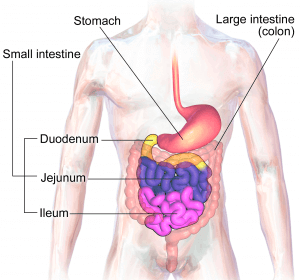 Figure 1: Anatomy of the digestive system