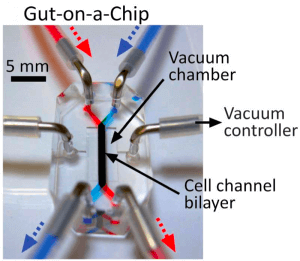 Figure 2: Taken from Hyun Jung Kim, Dongeun Huh, Geraldine Hamilton and Donald E. Ingber, human gut-on-a-chip inhabited by microbial flora that experiences intestinal peristalsis-like motions and flow, 2012