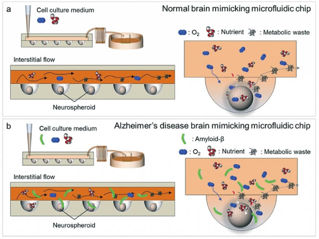 Figure 3: From Park, J., Lee, B. K., Jeong, G. S., Hyun, J. K., Lee, C. J., & Lee, S. H. (2015). Schematic representation of both a normal brain mimicking microfluidic chip (a) and an Alzheimer's disease brain mimicking microfluidic chip (b). (a) In normal conditions, the neurospheroids were cultured for 10 days with oxygen and nutrients. (b) In Alzheimer's disease conditions, cells were cultured only 7 days with oxygen and nutrients and then with a medium containing amyloid-β for 3 days.