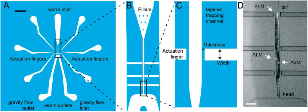 C. ELEGANS MECHANORECEPTOR NEURONS microfluidics elveflow