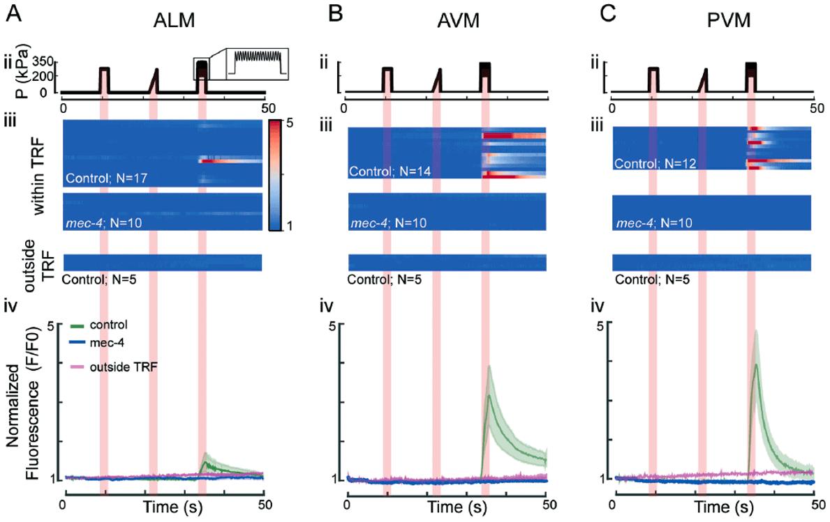 Calcium dynamics of TRNs microfluidics elveflow