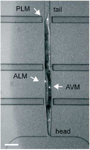 c elegans microfluidic elveflow chip