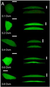 confocal image-protein interactions-microfluidic pump-elveflow